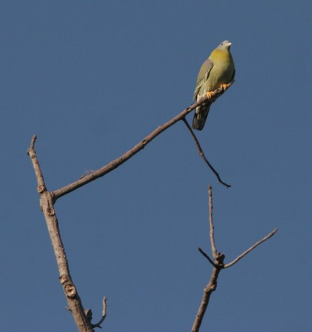 yellow-footed green pigeon 2312