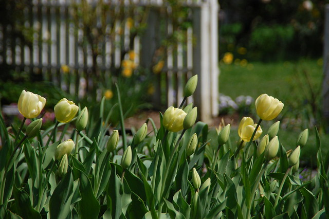 Yellow Tulips and Picket Fence