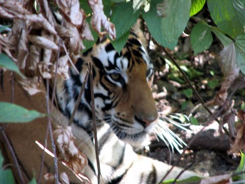 tigress kanha 231207