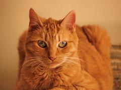Mer-cat watching the lense