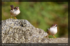 Yellow Eyed Babblers