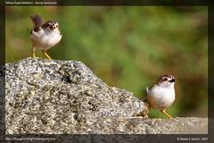 Yellow Eyed Babblers