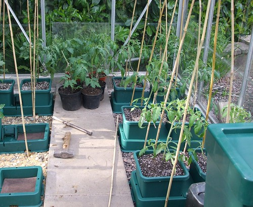Autopot System growing tomatoes