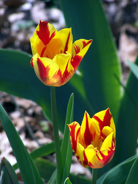Red-and-Yellow Tulips