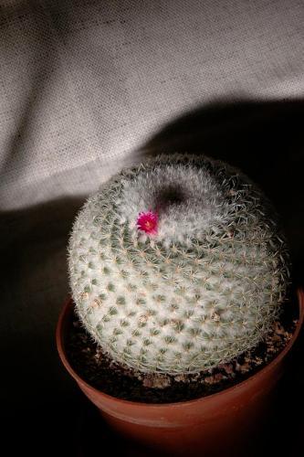 Cactus blossom 4