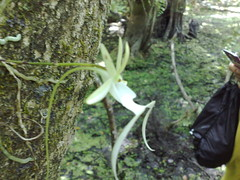 Rare Ghost Orchid in the Everglades (May 31, 2008)