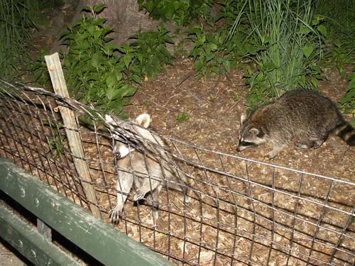 Begging racoons
