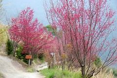 往巨木群步道途中的櫻花
