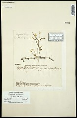 1753 Spring Beauty Herbarium Sheet by John Clayton