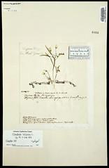 1753 Spring Beauty Herbarium Sheet by John Clayton