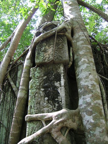 Root knees at Beng Mealea