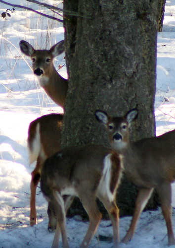 Female and fawns whitetail
