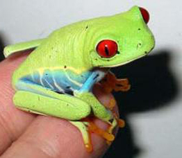 Red-EyedTreefrog-1