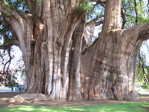 Biggest tree in the world - just look at the size of the people in the background