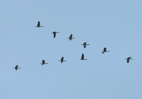 Canada Geese flying north