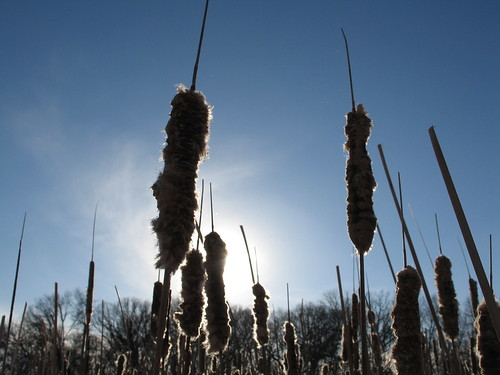 Cattail Sun, -25 wind chilled February day, Minneapolis, Minnesota, photo © 2008 by QuoinMonkey. All rights reserved.