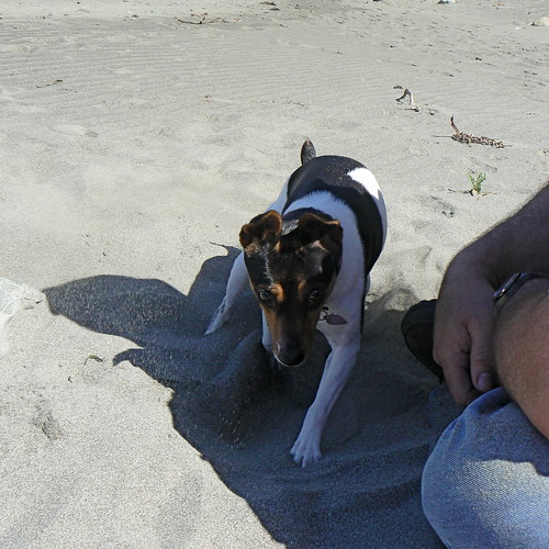 Ruby digging on the beach