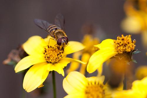 something bee-ish on flower III