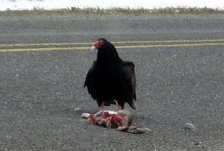 Turkey Vulture - March 25, 2008
