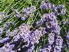 Eureka lavender