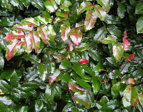Mahonienlaub im Regen