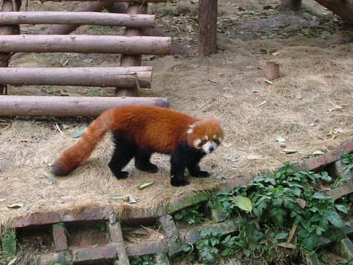 Chengdu's Pandas (1/6)
