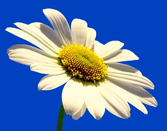 Daisy growth flower wisdom knowledge connection