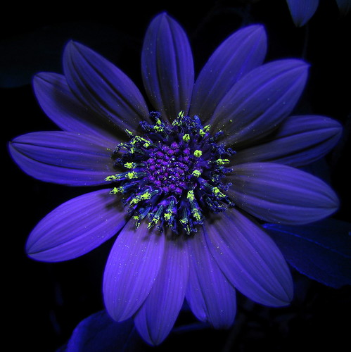 Sunflower under ultraviolet light by jciv