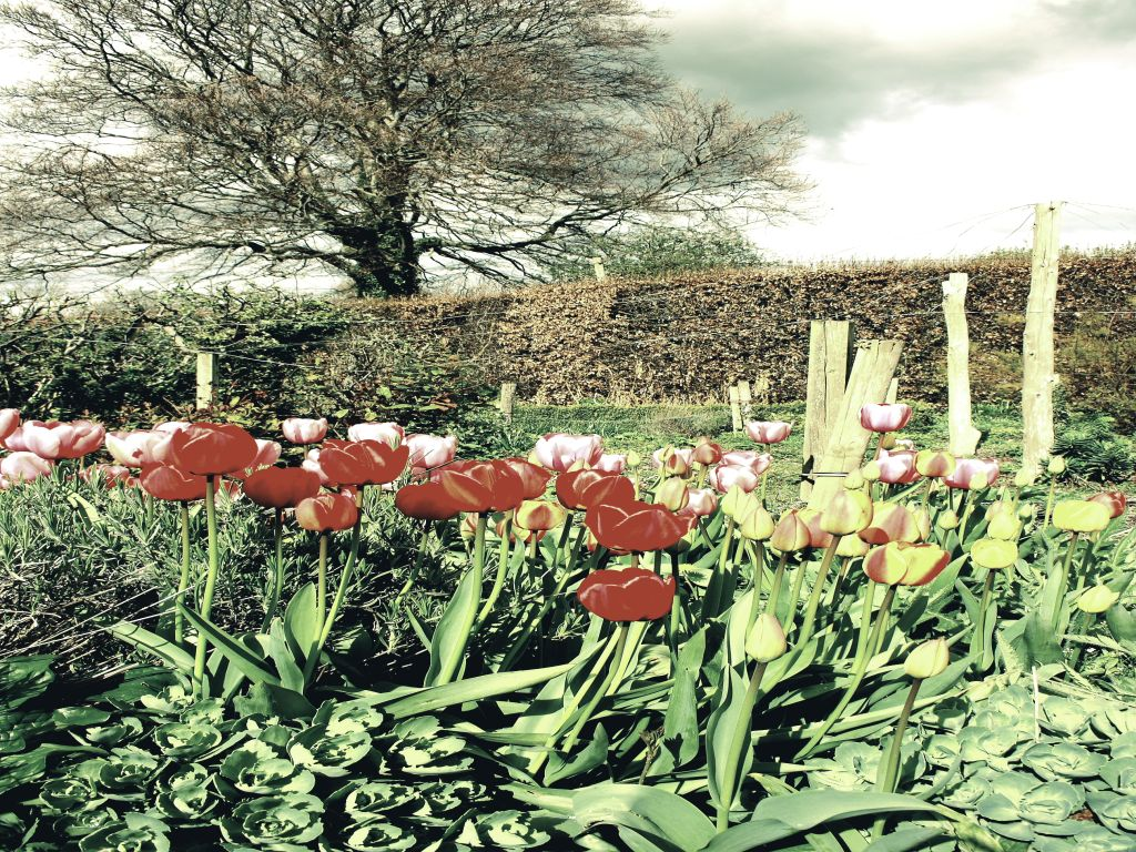 Tulips Drama