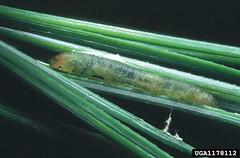Argyrotaenia pinatubana caterpillar