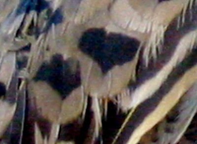 Female Northern Flicker feathers