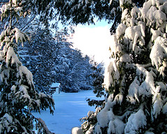 Snowy pine trees frame a view of blue shadows