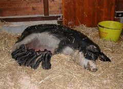 Porcs laineux