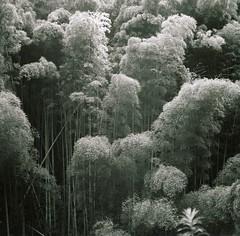 (super ape) Tags: mountain tlr japan rollei forest deep bamboo vb  kodakt400cn wakayama gossen   expiredfilm rolleicord hashimoto inaka  pictorialism explored  lunapro