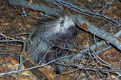 Porcupine by Jeff Tome