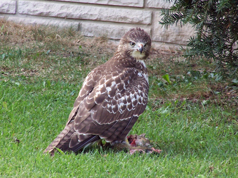 Hawk with Prey