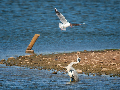 Heron and Gull_1
