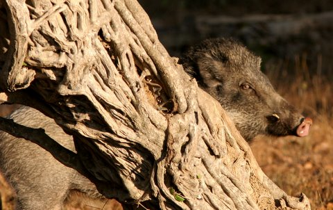 boar and the bark