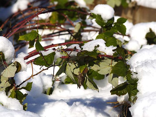 Raspberry Canes In Snow
