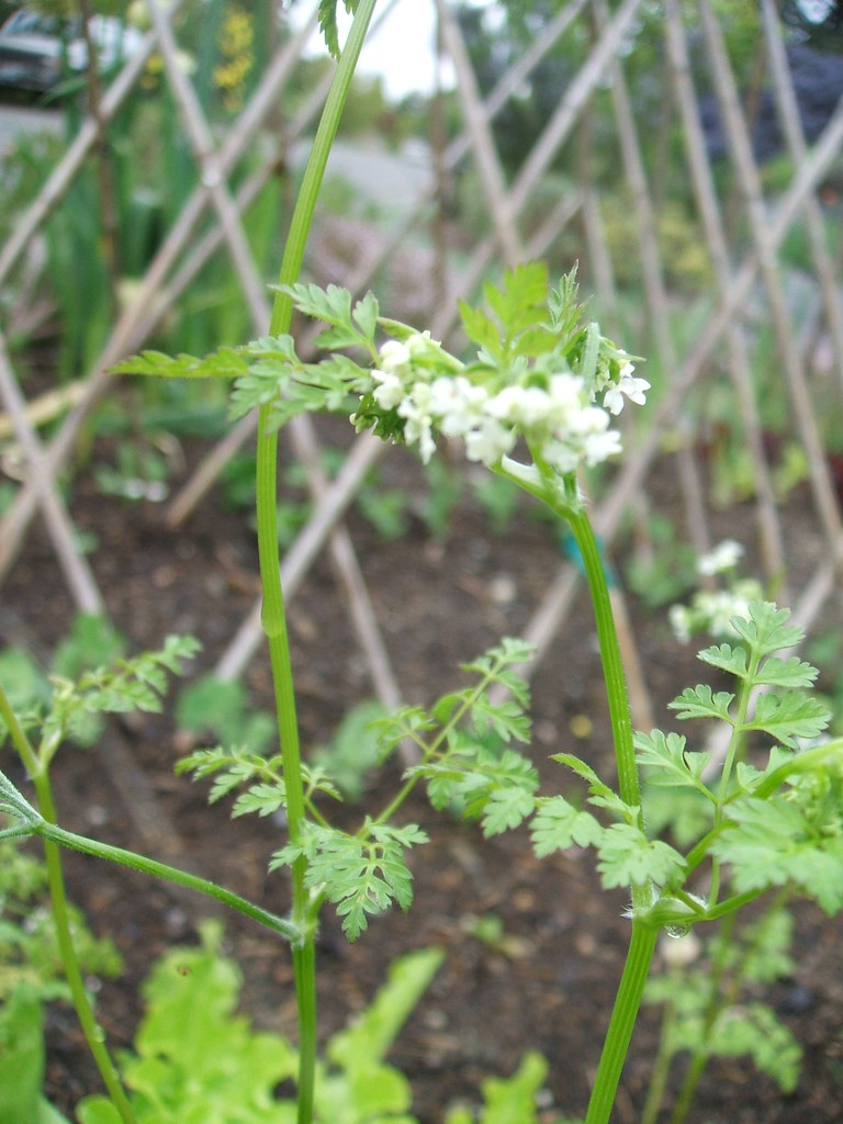 Bolted chervil flowering