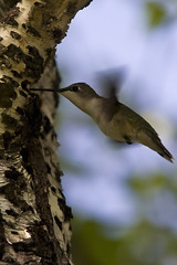 Hummingbird at Sapsucker Hole - by Jeremy Martin