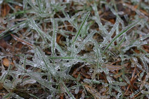Frozen blades of grass