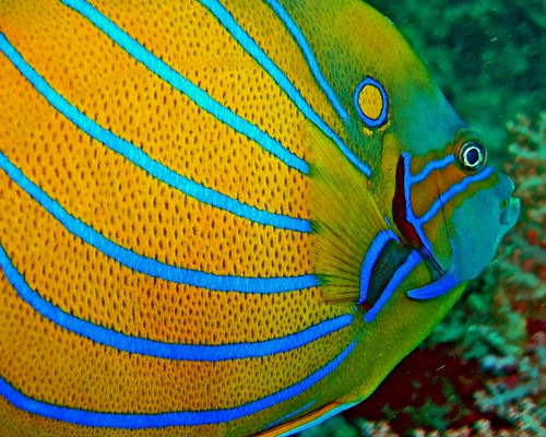 Angelfish Detail
