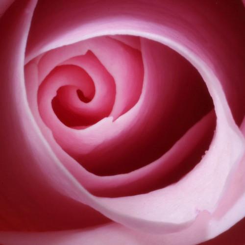 the inner rose