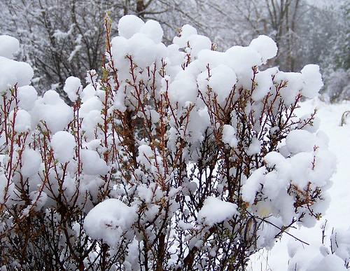 Snowballs on sage