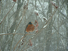 Robin in the Sumac - by Sarah Hatfield