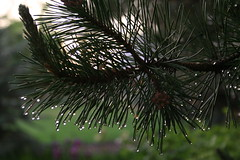 Pine Needles After Rain 2 by timage, on Flickr