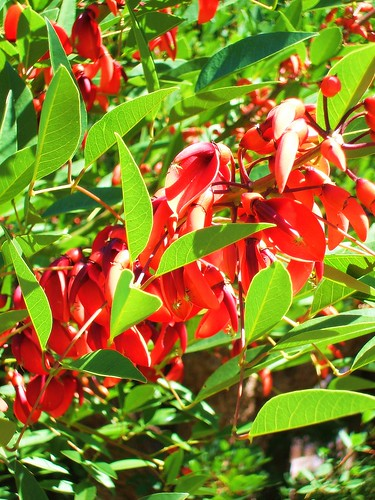 Red Coral Tree