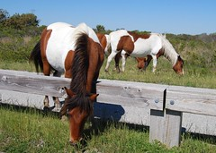 Horses on Assateague Island