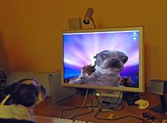 Boston Terrier Dating Online